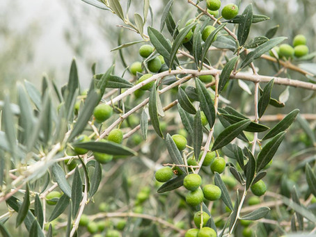 FUN FACT: Olives 101