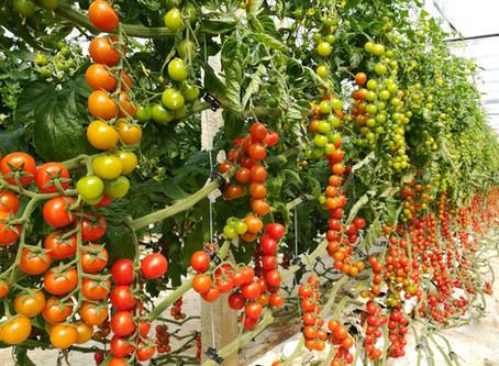 FUN FACT: Tomatoes 101
