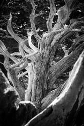 Monterrey Cypress No.2