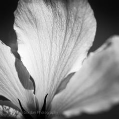 Hibiscus in the Sun