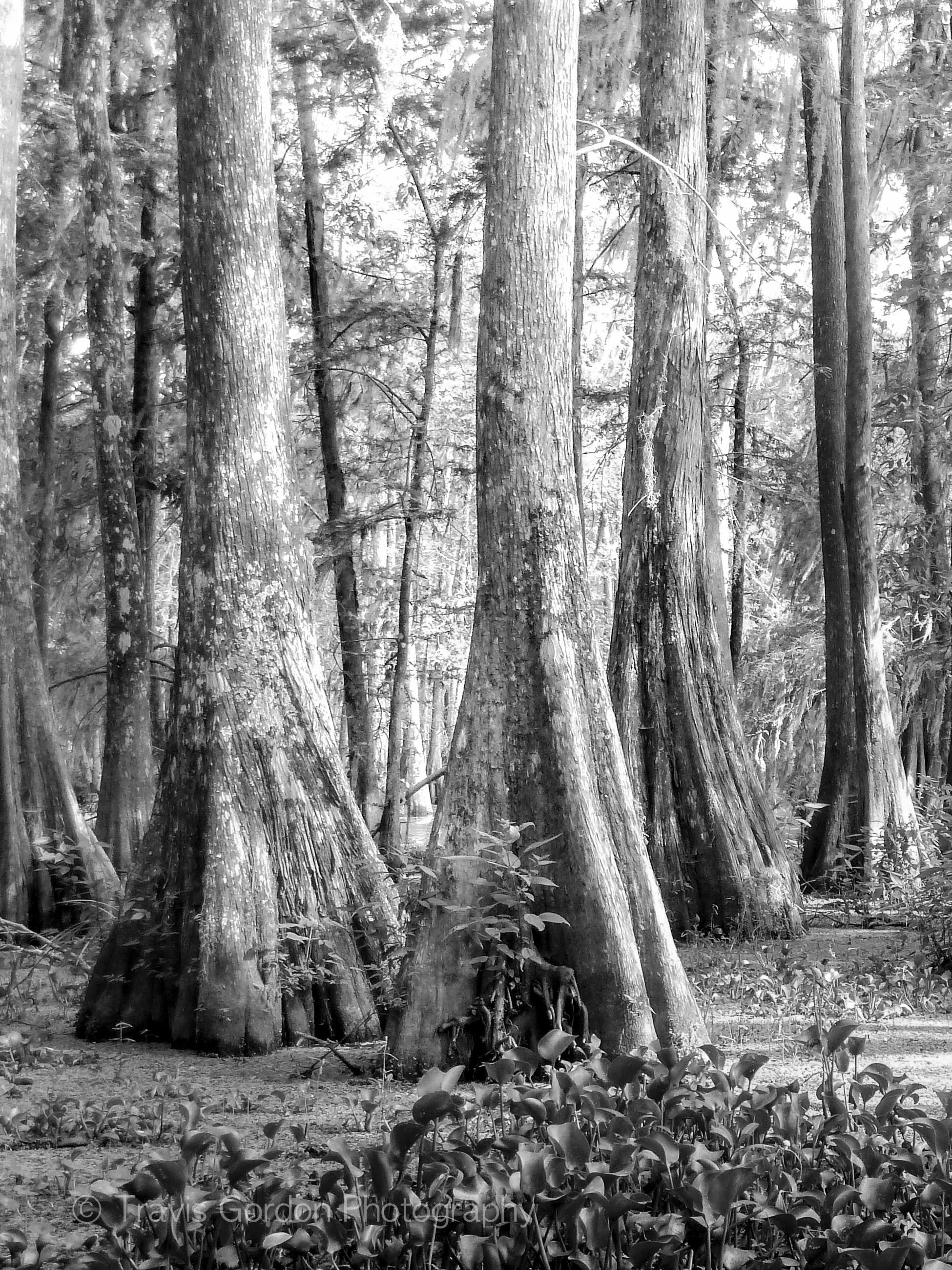 Cypress Forest