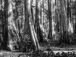 Cypress Forest 2
