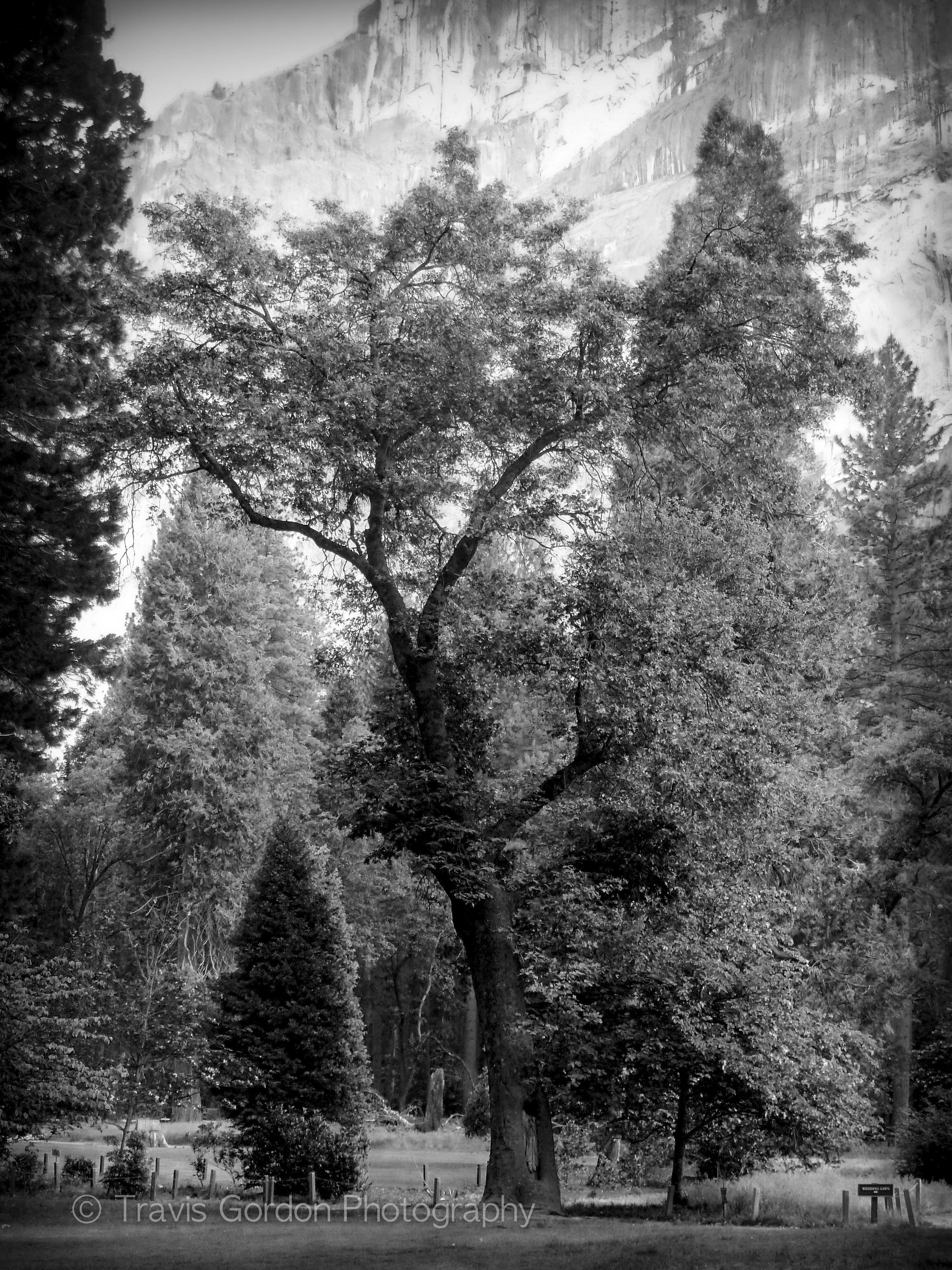 Ahwahnee Tree