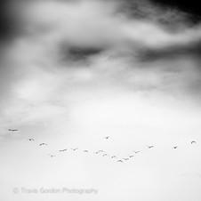 Flight of the Pelicans