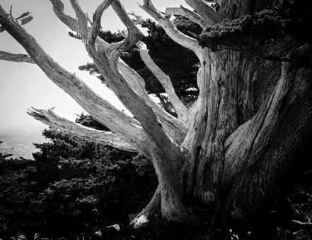 Monterrey Cypress