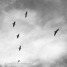 Dancing Seagulls