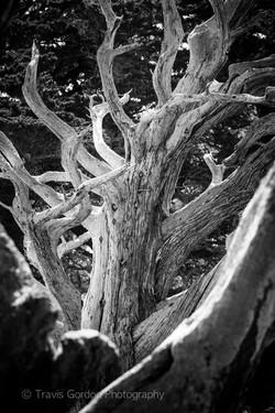 Monterey Cypress No. 2
