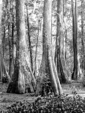 Cypress Preserve