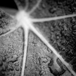 Raindrops on Fig Leaf