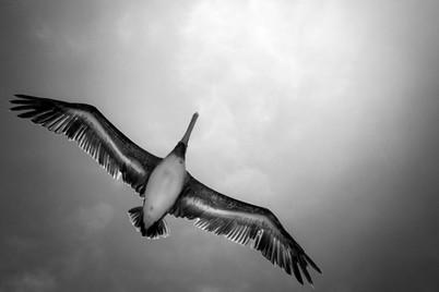 Pelican Flying Home