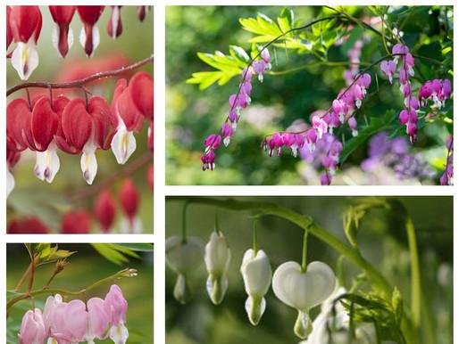 Cœur de Marie, une plante qui attire le regard