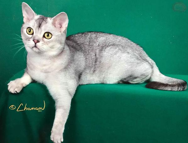 Shaded silver American shorthair cat