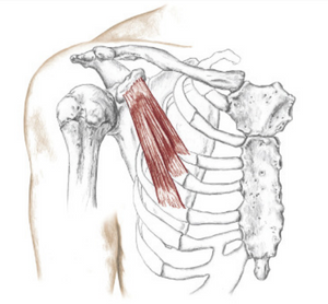The pectoralis minor plays a supporting role to the pectoralis major. Image credit: Books of Discovery 2014