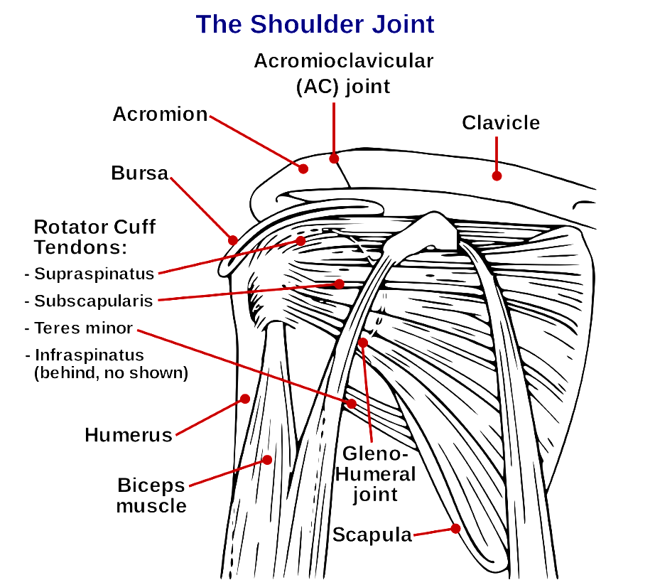 The complexity of the shoulder joint makes it the most flexible joint in the human body.