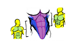 """The well-known """"six-pack"""" is actually made up of eight core segments."""