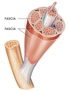 The fascia wraps around almost every structure of the body. Image: Restore PT