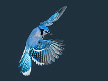 Blue Jay Bird in Flight in Winter.jpg