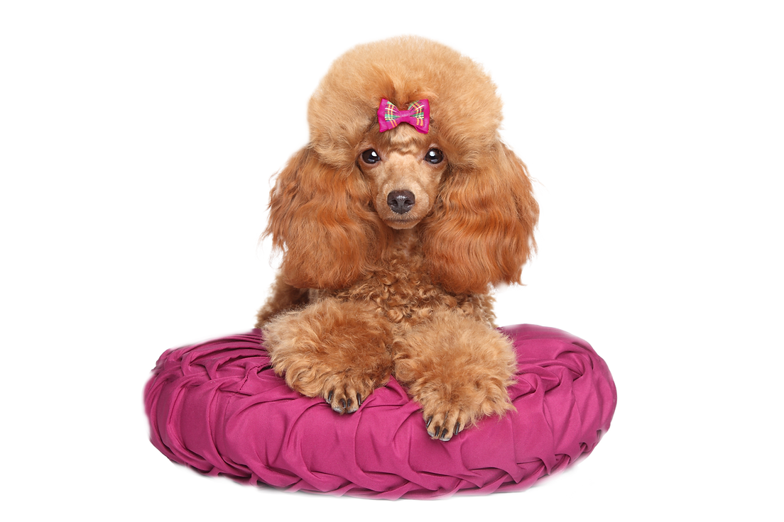 Toy%20Poodle%20puppy%20lying%20on%20pill