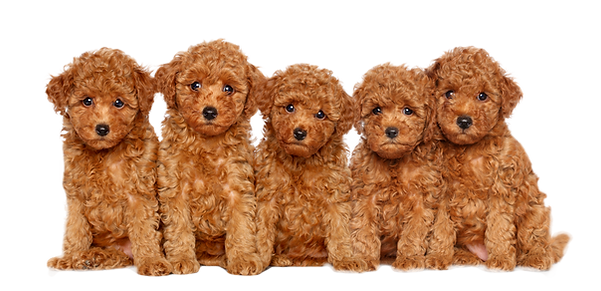 Group%20of%20Toy%20Poodle%20puppies%20on