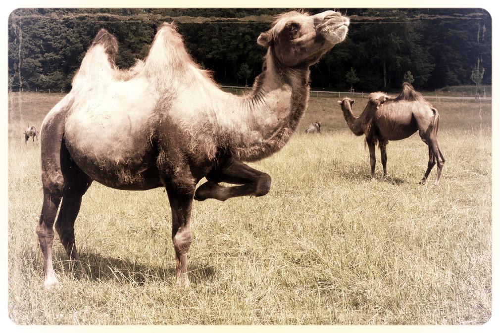 Æd så de kameler og kom videre