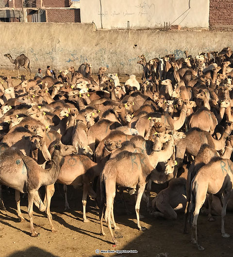 camel market 1.jpg