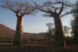 baobabs secs.jpg