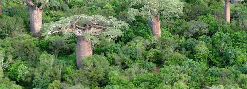 foret de baobab vert aérien