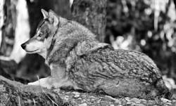Wolf 6 b u w