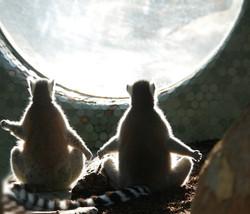 Lemuren 4