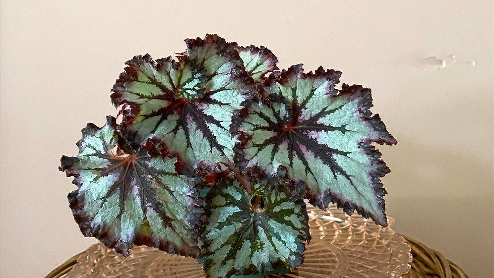 Chocolate Cream Begonia