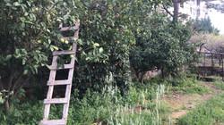 Seville Oranges at Teta Adma's garden