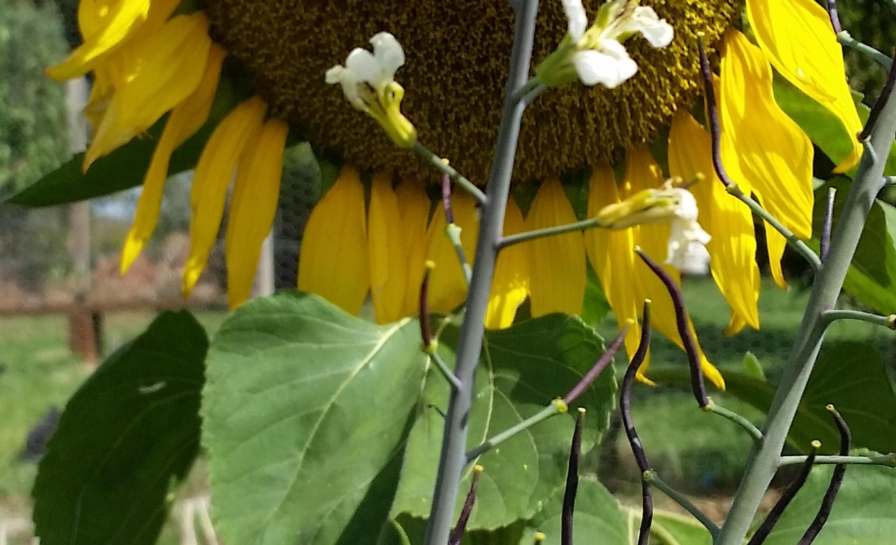 Enormous sunflower.jpg
