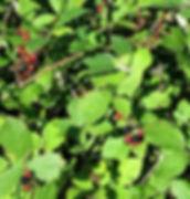 blackberry_fruit_foliage.jpg