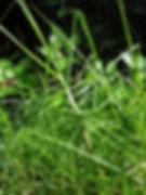 kikuyu_grass.jpg
