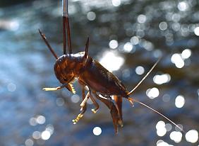 crayfish catching canada fishing hook bluegrass festival