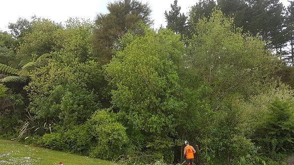 weed-tree-management-treelands-te-awamut