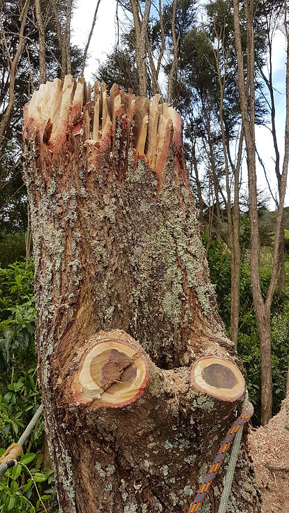 tree-veteranisation-treelands-waikato