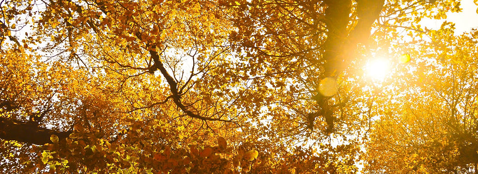 Trees with yellow leaves and the sun gently peaking through