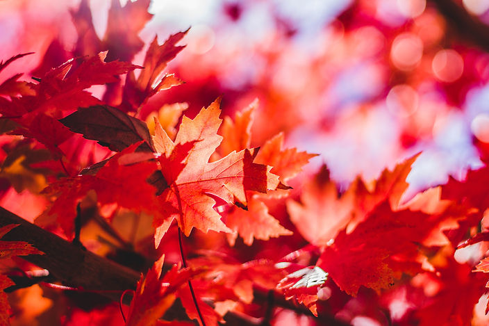 Close up of a red leaf, surrounded by other red leaves that are out of focus