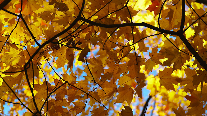 Close up of yellow leaves on a tree branch on a sunny day