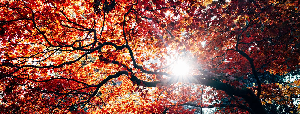 tree with orange leaves with the sun peaking through