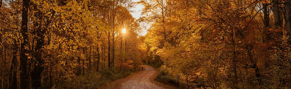 Forest in autumn-- tons of trees with yellow and orange leaves, with the sun peaking through over a leaf-covered winding path