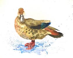 Duck Splash