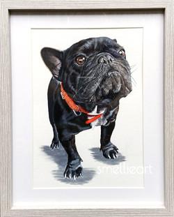 Wotsit the French Bulldog