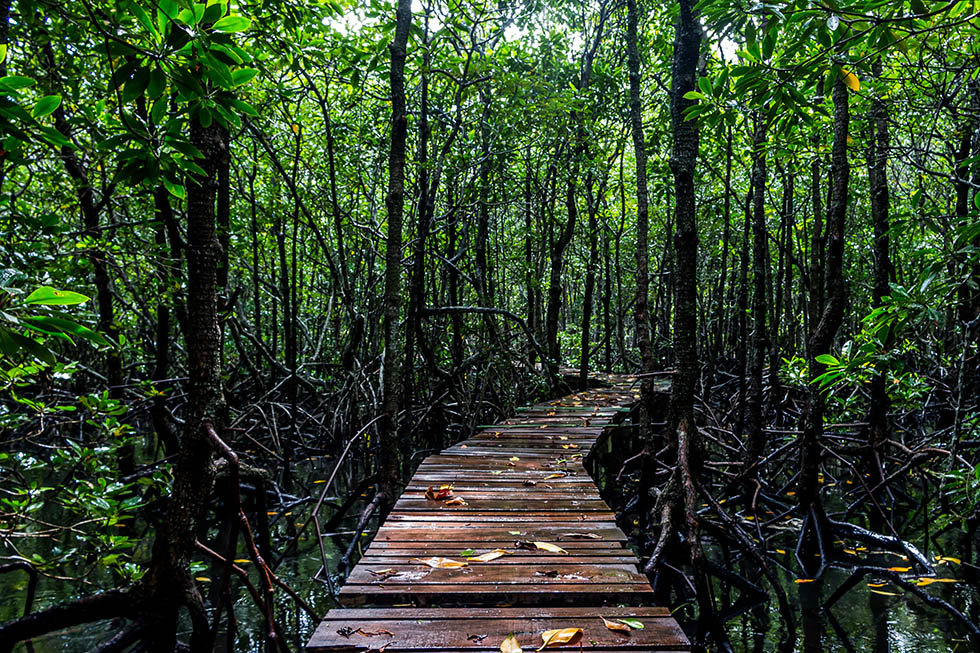 Mangrove-forest-Koh-Tan.jpg