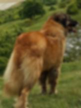 Estrela Mountain Dog Puppy Champion Sire