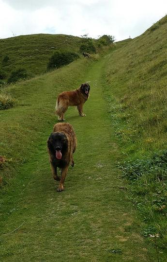 Estrela Mountian Dog breed information