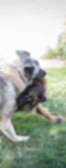 Estrela puppy
