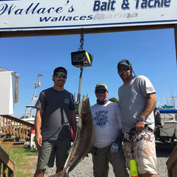 Wallace's - 29lbs Cobia