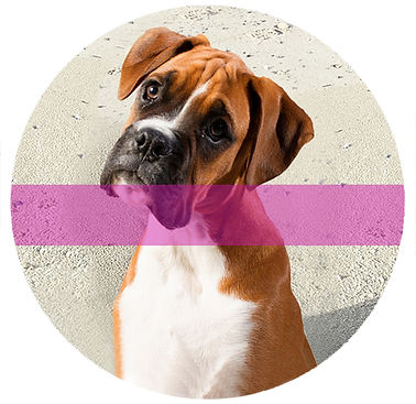 Close up of Boxer dog with quizzical expression